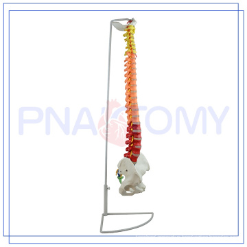 PNT-0120C Spine Model For Medical Science for medical use